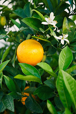 Fresh, yellow lemon growing on tree - p301m2018592 by Norman Posselt