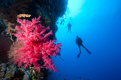 Divers alongside coral wall - p9243320f by Image Source