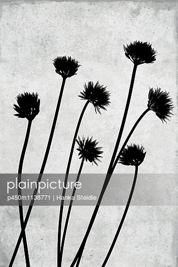 Schnittlauchblüten    - p450m1138771 von Hanka Steidle