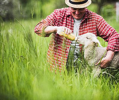 Shepherd feeding lamb with milk bottle - p300m1140863 by Uwe Umstätter