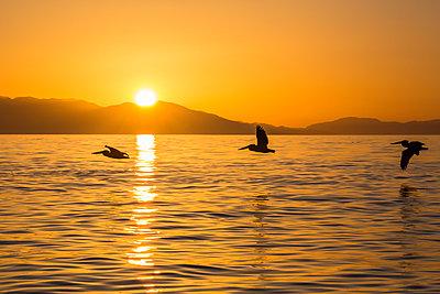 Brown pelicans (Pelecanus occidentalis) in flight formation at sunset near Isla Rasita, Baja California, Mexico, North America - p871m1067025f by Michael Nolan