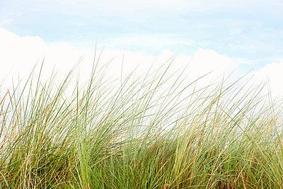 Gräser auf der Düne - p382m1540196 von Anna Matzen