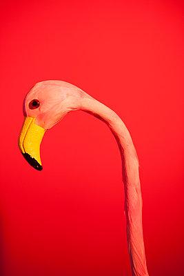 Flamingo-Portrait - p045m1154719 von Jasmin Sander