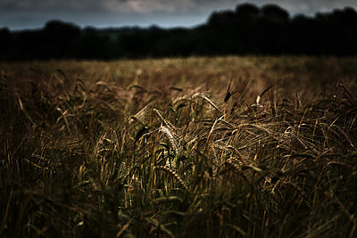 Wheat Field in Winchester Highlight - p1166m2205732 by Cavan Images