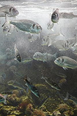 Fische im Aquarium - p415m822887 von Tanja Luther