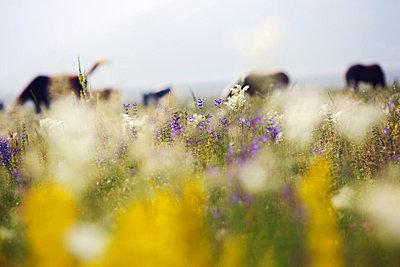 Flower field - p26813349 by Rudi Sebastian