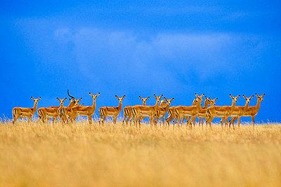Impalas alarmed, Aepyceros melampus, Serengeti National Park, Tanzania - p1100m874970 by Frans Lanting