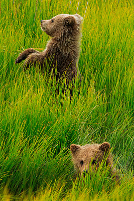 Brown bear cubs - p1100m887875f by Art Wolfe