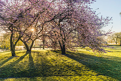 Germany, Hamburg, Alsterpark, flowering cherry trees - p300m2080941 by Kerstin Bittner
