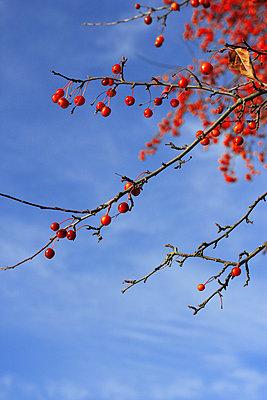 Zweig mit Beeren - p450m793101 von Hanka Steidle
