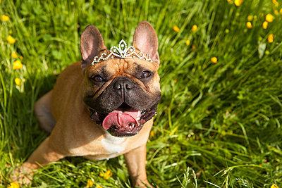 braune Französische Bulldogge mit Krone - p045m1154782 von Jasmin Sander