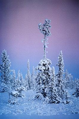 Verschneite Tannen - p1418m1571456 von Jan Håkan Dahlström