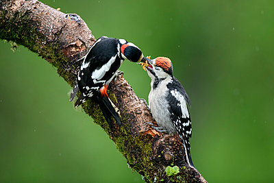 Close-up of great spotted woodpeckers on plant - p300m2144481 by Mark Johnson