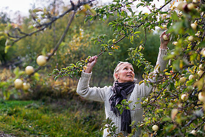 Woman picking apples - p312m2101532 by Pernille Tofte