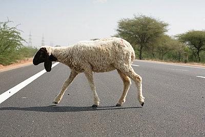 Schaf überquert eine Straße - p596m1222181 von Ariane Galateau