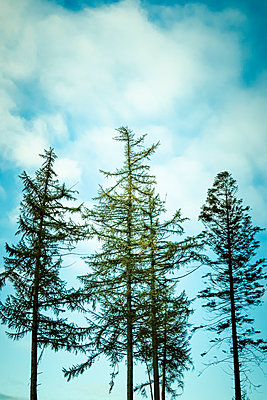 A small group of pine trees against a blue sky with white clouds - p1302m2217316 by Richard Nixon