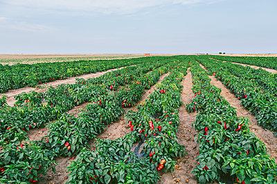 Serbia, field, red bell peppers - p300m2012899 von oticki