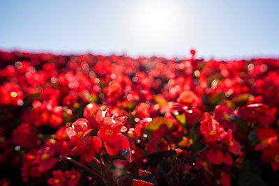 China, red flowers against the sun - p300m2029814 by Kike Arnaiz