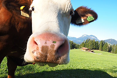 Curious cow in Alpine meadow, Tyrol - p338m2179813 by Marion Beckhäuser