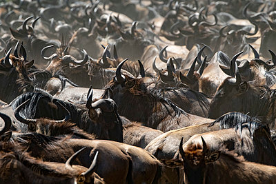 Wildebeest migration Serengeti National Park, Tanzania, Africa - p651m2271107 by Paul Joynson Hicks photography