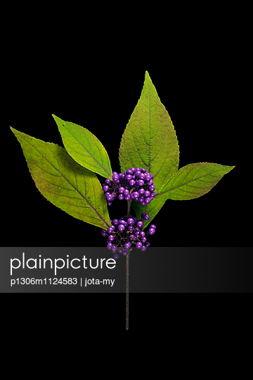 Callicarpa japonica, Japanische Schönfrucht - p1306m1124583 von jota-my