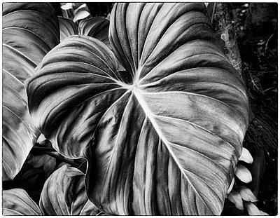 Elephant Ear Leaf - p1154m2022398 by Tom Hogan