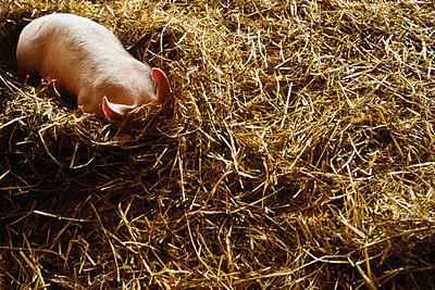 Glückliches Schwein - p5679710 von Angelle