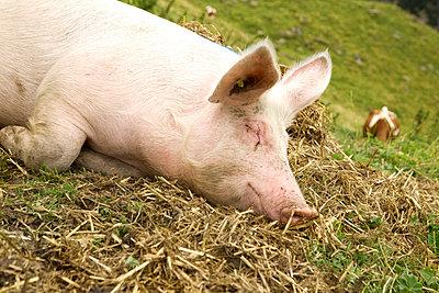 Glückliches Schwein - p5790143 von Yabo