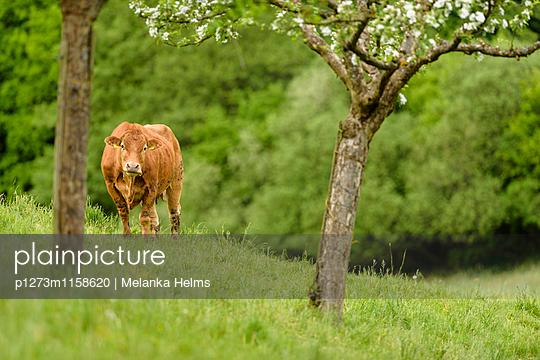 Einzelne Kuh auf Hügel - p1273m1158620 von melanka