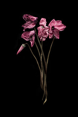 Withering pink cyclamen against black background - p1366m2260575 by anne schubert
