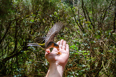 Chaffinch on hand - p1600m2175625 by Ole Spata