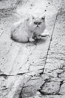 Perserkatze - p977m919657 von Sandrine Pic