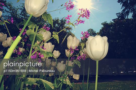 Tulips - p1153m951559 by Michel Palourdiau