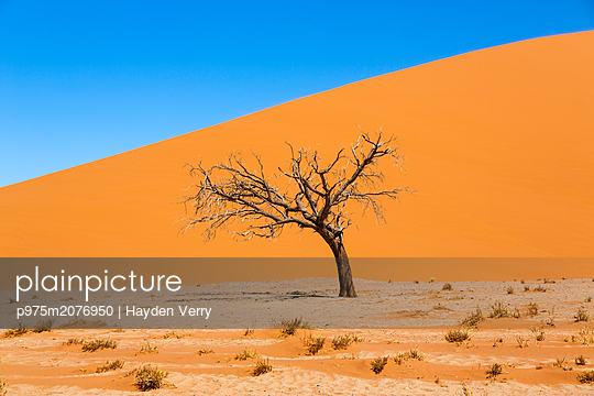 Dead tree, Sossusvlei - p975m2076950 by Hayden Verry