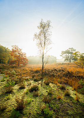 Field with heather between woods on autumn morning, Wouw, Netherlands - p429m1207023 by Mischa Keijser