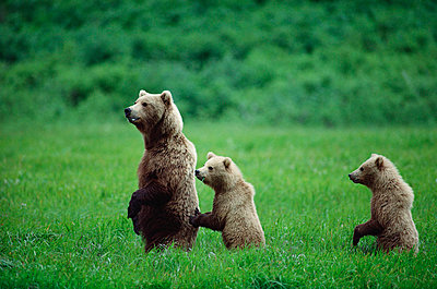 Grizzly Bear mother and two cubs - p8840124 by Michio Hoshino