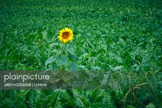 Single sunflower in a field - p851m2205828 by Lohfink