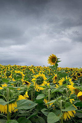 Sunflower field - p1228m1464985 by Benjamin Harte