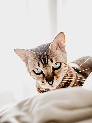 Cat on the bed - p1522m2072800 by Almag