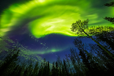 A bright aurora display shines above trees; Alaska, United States of America - p442m1224994 by Steven Miley