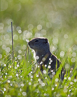 Uinta ground squirrel (Urocitellus armatus), Yellowstone National Park, Wyoming, United States of America, North America - p871m1006272f by James Hager