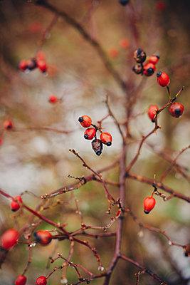 Rose hip - p1184m1120075 by brabanski