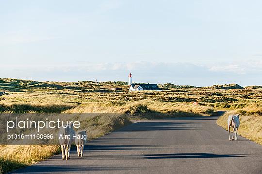 Schafe auf einer Straße, Leuchtturm List West im Hintergrund, List, Ellenbogen, Sylt, Schleswig-Holstein, Deutschland - p1316m1160996 von Arnt Haug