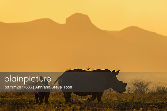 White rhino, Ceratotherium simum, calf and cow, Zimanga private game reserve, KwaZulu-Natal, South Africa - p871m2077686 by Ann and Steve Toon