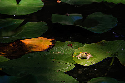 The frog on water lily leaf - p1412m1488469 by Svetlana Shemeleva