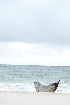 Einsamer Seehund - p249m1055093 von Ute Mans