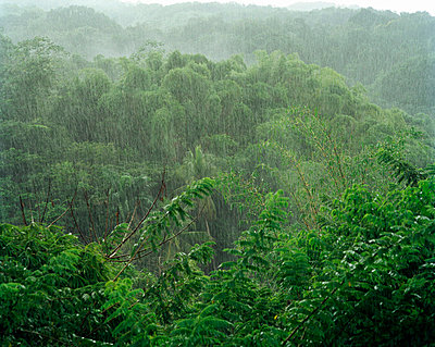 Rain in the rain forest Tobago. - p31221637f by Per Eriksson