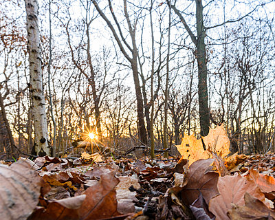 Fallen leaves in woods - p312m1472736 by Mikael Svensson