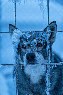 Dog behind bars - p312m1570426 by Hans Berggren