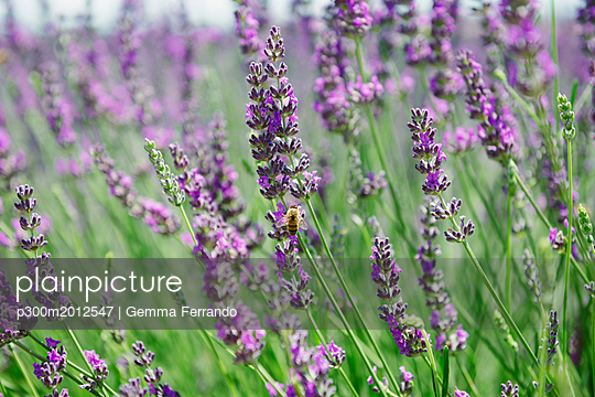 France, Provence, close-up of blooming lavender field in the summer - p300m2012547 von Gemma Ferrando